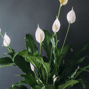 ehfloral peace lilly