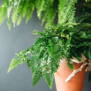 rabbit foot fern